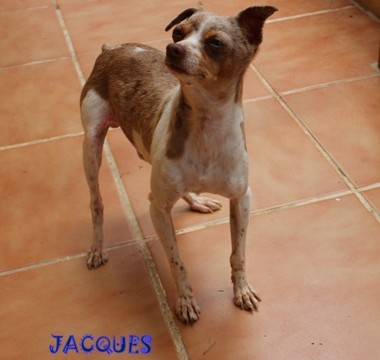 JACQUES :adopted -  MINATURE PINCER. 2.5kls : MERLE.