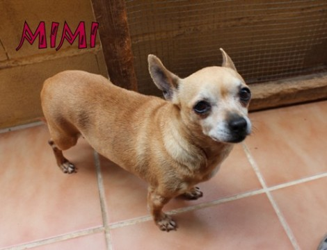 MIMI - ADOPTED - smooth-coat Chihuahua: A LITTLE DARLIN´