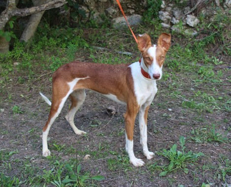 RAINBOW:  Stunning Puppy Podenco