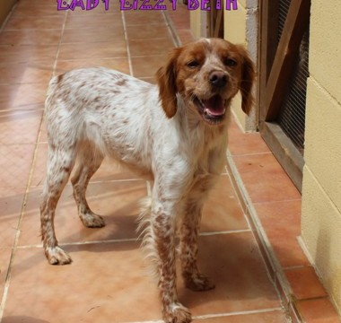LADY LIZZY BETH: ADOPTED -  Small Pure Breed Epaigneul Breton.