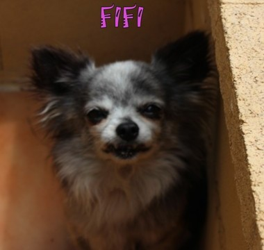 NOW ADOPTED - FIFI 2kl  Stunning long hair  Tricolour Chihuahua.