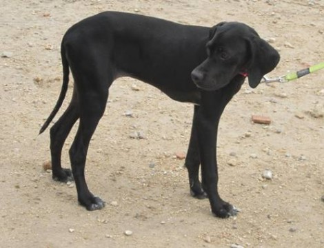 BLUBELL - Puppy Pointer - a real little Charmer.