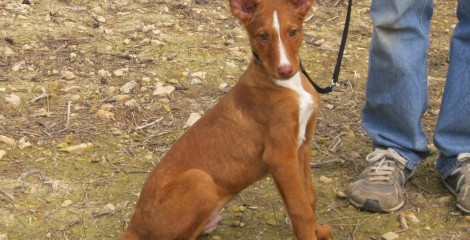 OZZY - ADOPTED -  Podenco - A very Gentle and Loving Breed.