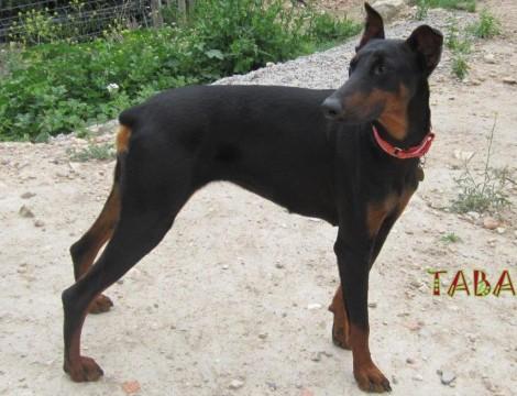 TABATHA, a spectacular Doberman-adopted
