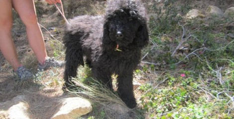 ADOPTED ------Mr Bo Jangles - Pure Breed Minature Poodle .