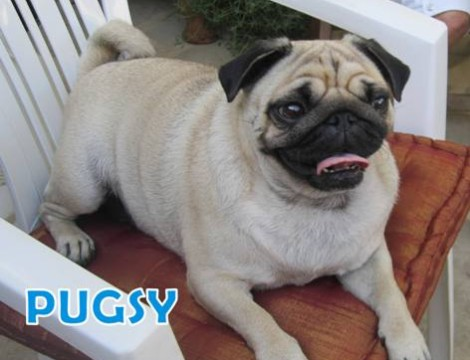 PUGSY - ADOPTED - great home - our fabulous Pugsy.