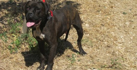 ADOPTED ---- WOODY --- NEEDS LOVE ---shot in the head but survived and is a super boxer dog.